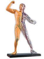Научный опыт «Человеческое тело»