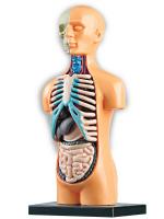 Научный опыт «Анатомия человека»